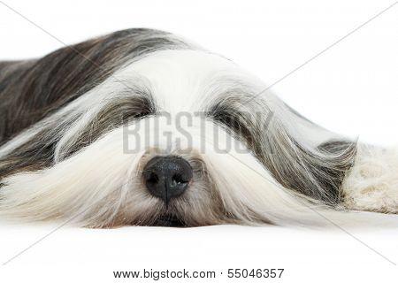 Sheepdog on white background