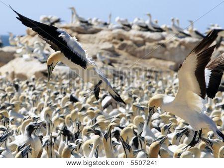 Cape Gannet Morus Capensis Picking A Spot To Land