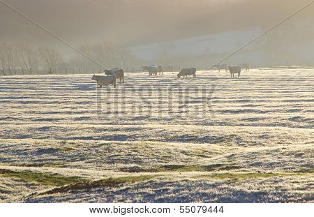 Cattle in Frost, Cotswolds