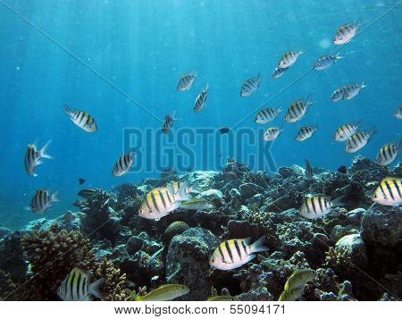 Damselfish school