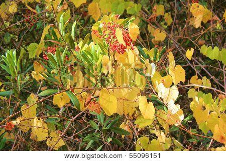 Autumn Grapevines