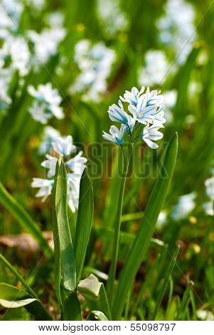 Porcelain hyacinths