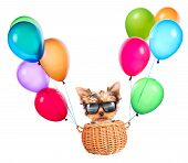 happy yorkie toy flying in a basket with air balloons poster