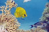 masked butterflyfish taken in th red sea. poster