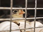 Dark chicken who were born recently. Dark chicken who were born recently. poster