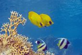 masked butterflyfish taken in the red sea. poster