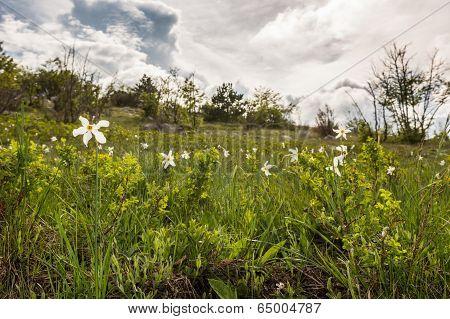 Meadow Of Wild Daffodils