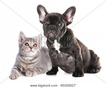 Cat and dog, British kitten and French Bulldog puppy