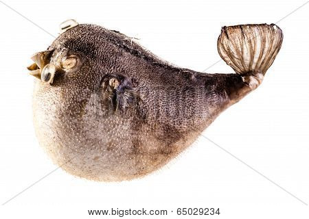Isolated Puffer Fish