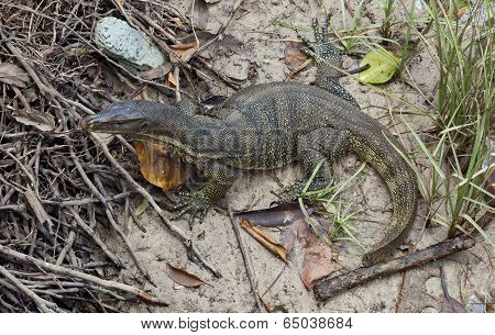 Monitor lizard (Varanus salvator)