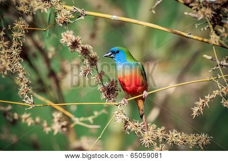 Pin-tailed Parrotfinch Bird