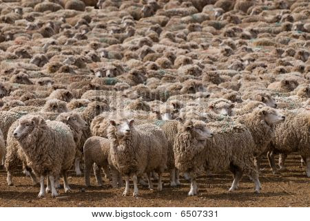 A Heard Of Sheep In Patagonia