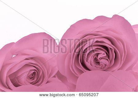 close up of pink rose petals
