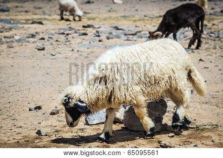 Sheep Jebel Shams