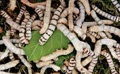 Many silkworms eating mulberry leaves before getting cocoons poster