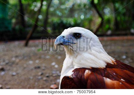 brahminy kite bird