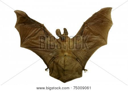 Genuine dead and dried VAMPIRE BAT for sale that You can own. How cool is that. Vampire bats are bats whose food source is blood, a dietary trait called hematophagy.