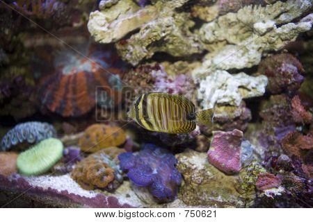 Angel Fish 3