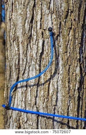 Maple Sap Line