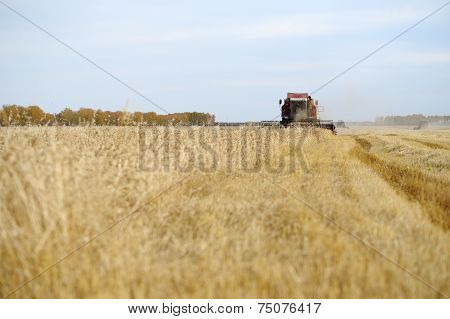 A Combine Harvests Grain Harvest In The Fall.