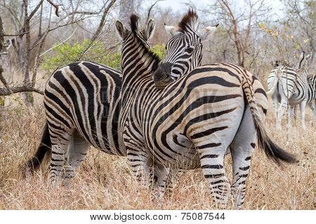 Zebras Cuddling at Kruger National Park South Africa poster