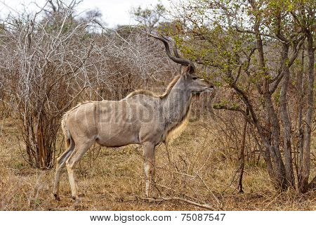 Adult Kudu Feeding At Kruger National Park, South Africa