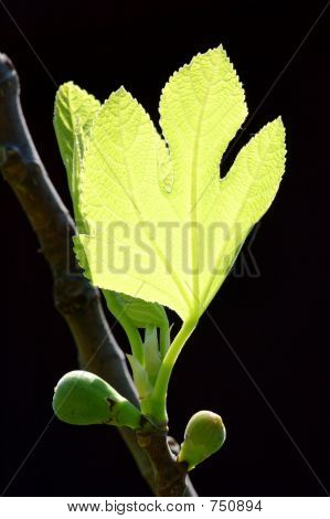 Young figs on a branch