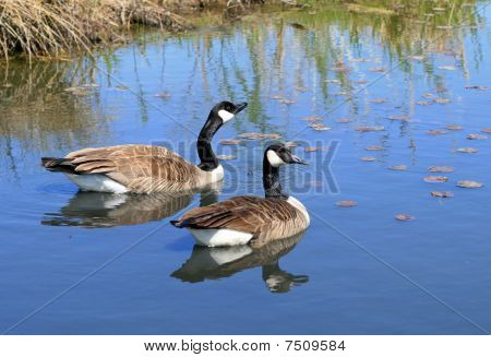 Pair of Canadian geese swimming in a blue pond with reflections. poster