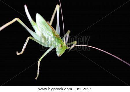 Green Grashopper