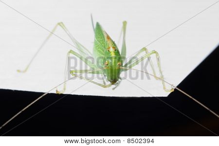 Grashopper - Macro
