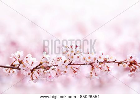 Cherry blossoms in spring. A straight branch of cherry blossom with beautiful pastel pink background.  Shallow depth of field.