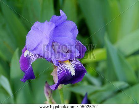A blooming iris flower