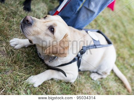 Labrador retriever guide dog before the last training for the animal. The dogs are undergoing various trainings before finally given to the physically disabled people. poster