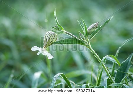 dewy flowers of the Bladder Campion