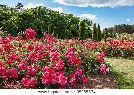 Roses Bed On Garden Landscape