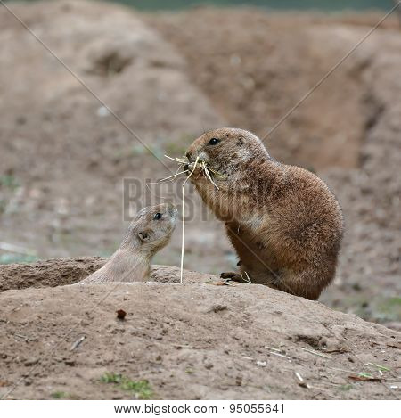 young prairie dog with his mother