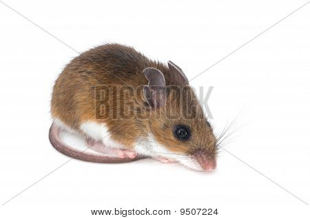 Isolated Mouse