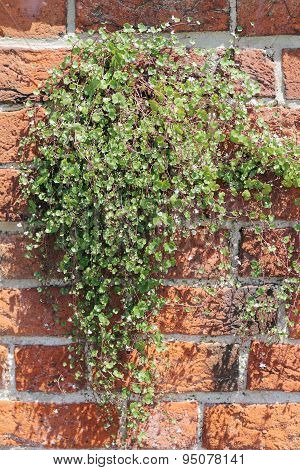Ivy-leaved Toadflax On A Brick-wall, Cymbalaria Muralis