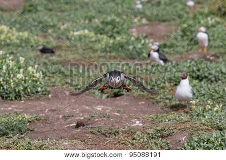Atlantic puffin taking off