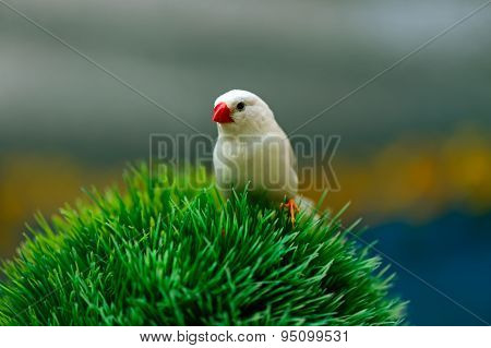 African Finch