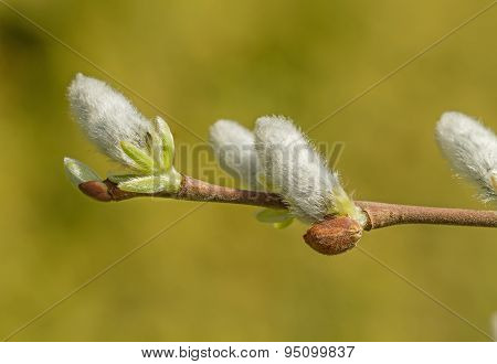 White Pussy-willow