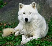 this is an artic wolf resting on a fall day while looking at the camera. poster