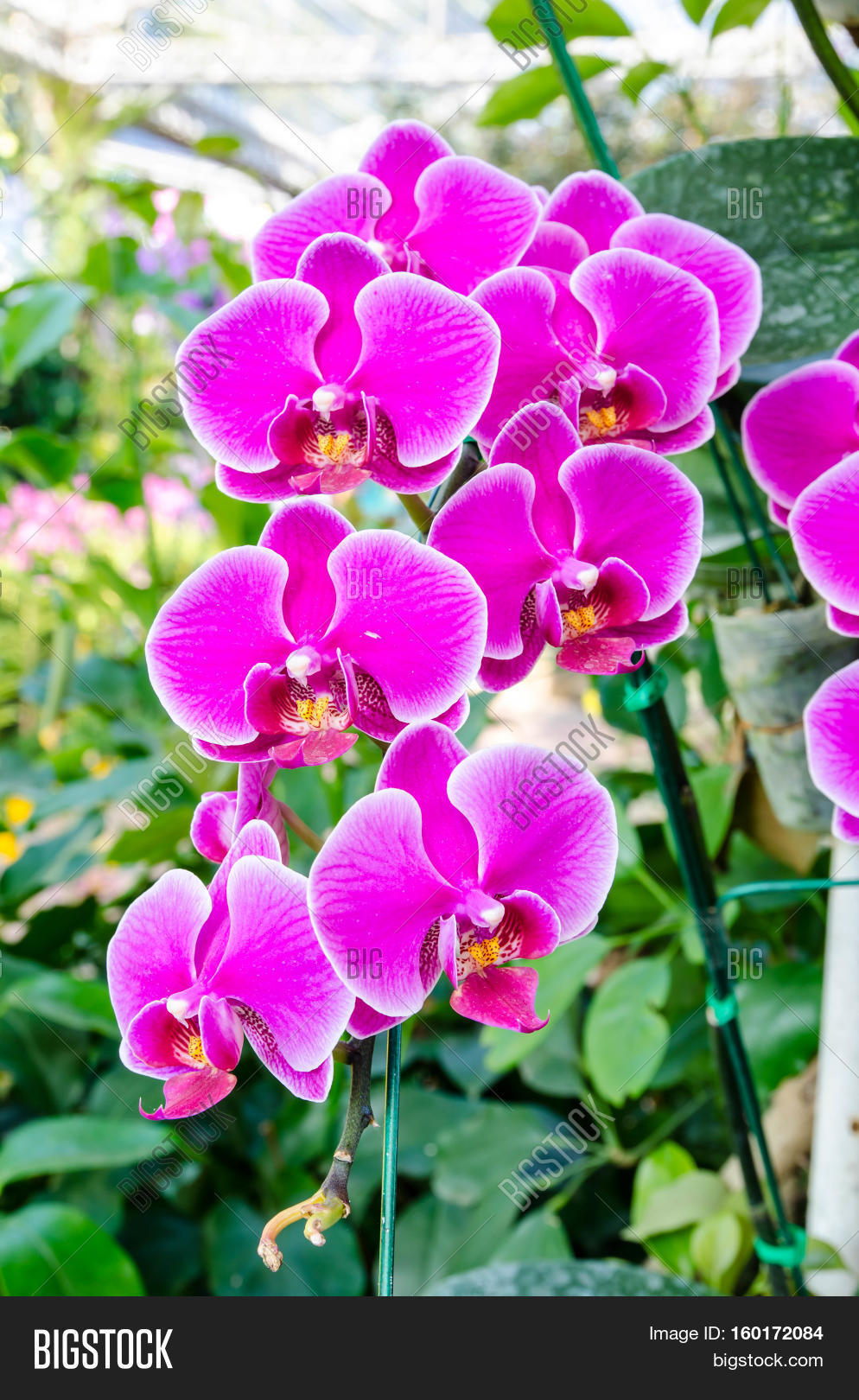 Beautiful orchid image photo free trial bigstock beautiful orchid flowers in the natural garden izmirmasajfo