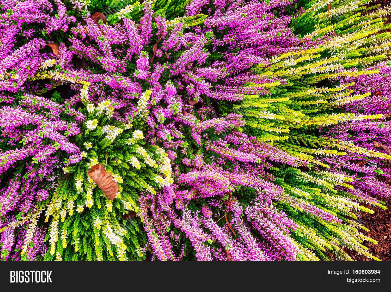 Flowerbed Pink White Image Photo Free Trial Bigstock