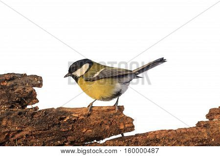 Great tit sitting on an old tree isolated on white, in birds, the birds in the garden feeder