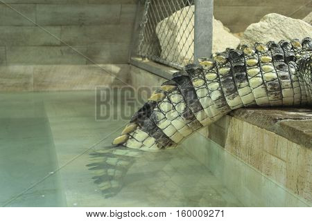 Saltwater crocodile tail/Saltwater crocodiles relax in terrarium by pool.