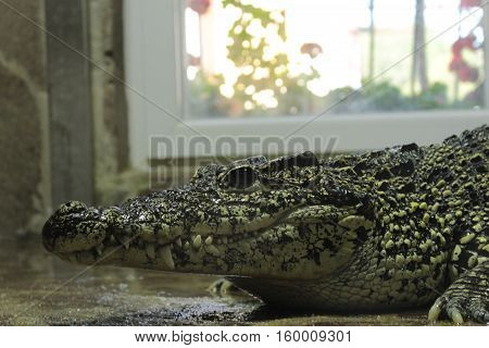 The Philippine crocodile relax in terrarium .