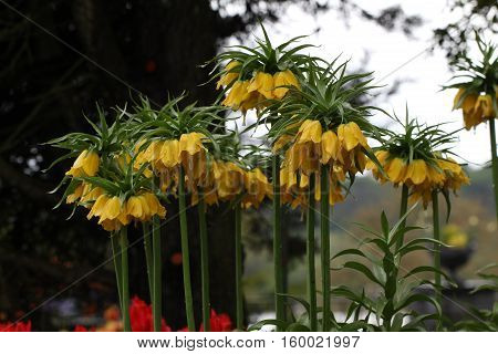Beautiful spring flowers / Fritillaria imperialis .