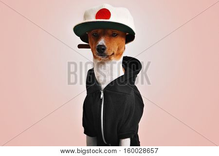 Serious looking basenji dog dressed in a black hoodie with metal zipper and white wool classic baseball hat with a red circle on pink background, looking in camera