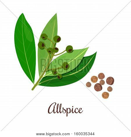 Blossoming Allspice with seeds. String of raw and black peppercorns on a green Branch. Unripe and ripe. Black pepper. Vector illustration. Also Jamaica pepper myrtle pepper. For menu cosmetics tags